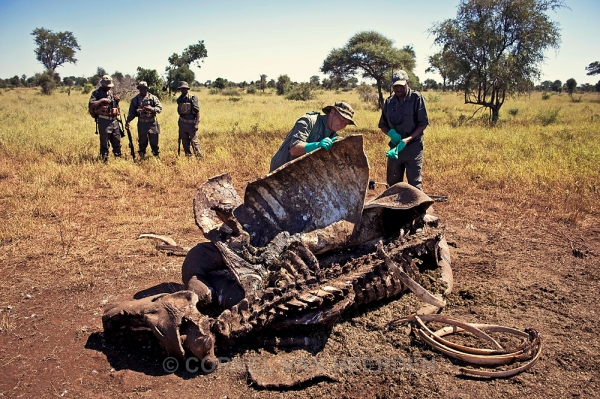 Ranger search for clues at the carcass of a rhino that was killed a couple days earlier.