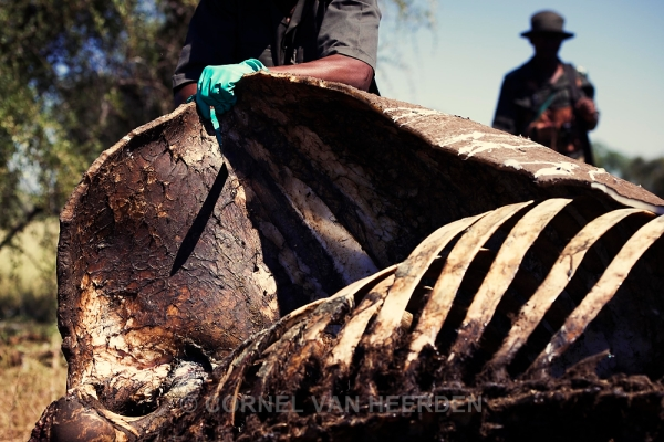 A ranger cuts into the carcass of a poached rhino in an attempt to get clues and evidence.